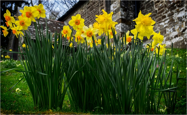 Daffodils everywhere - Greg Earl