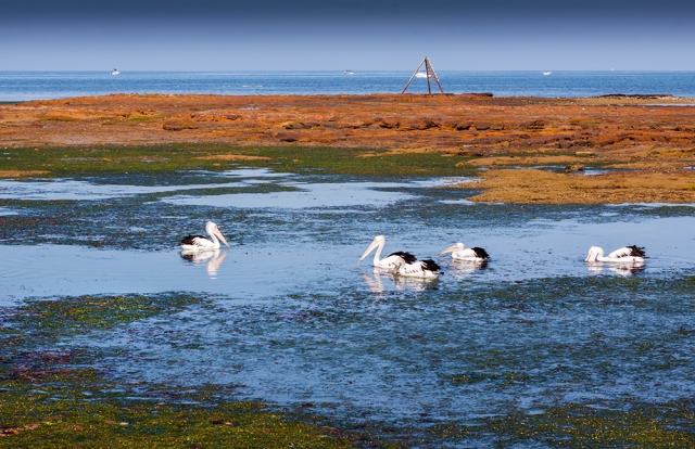 Pelicans Feeding - Rickett's Point, Beaumaris