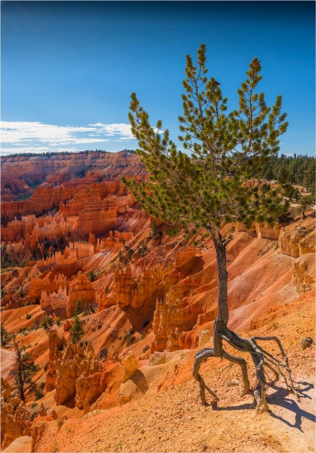 _GNE1466 Limber pine BLOG