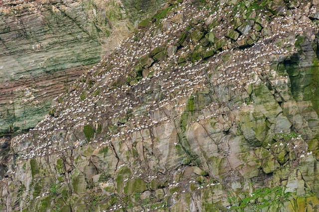Small part of the huge Gannet colony