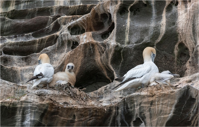 Northern Gannets with chicks